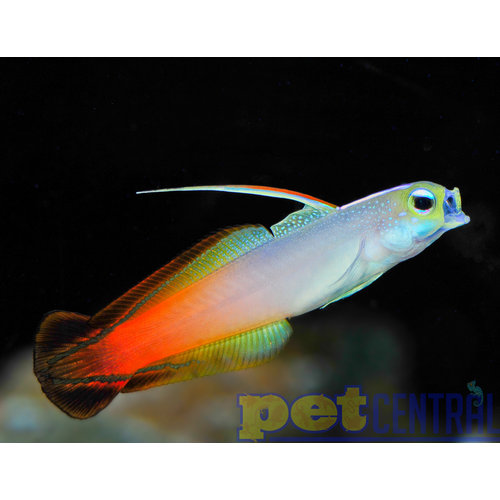 Red Firefish MD