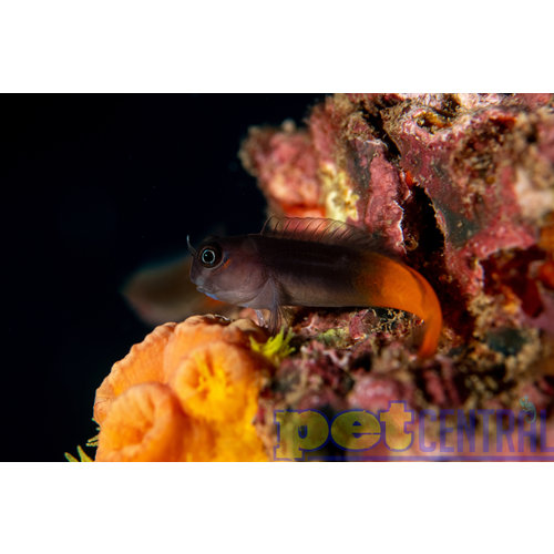 Bicolor Blenny MD Unsexed