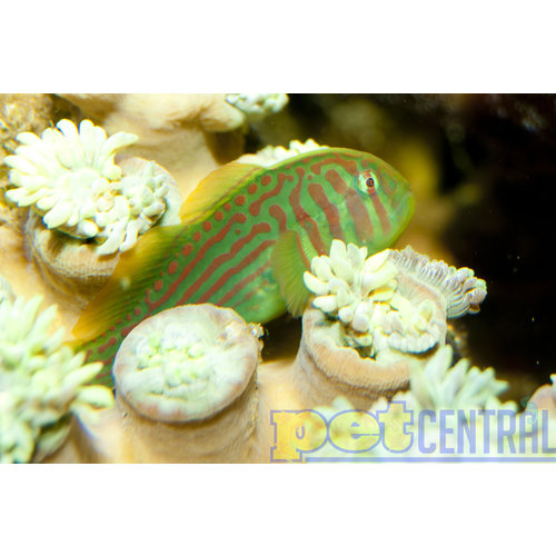 """Green Clown Goby MD (1-1.75"""")"""