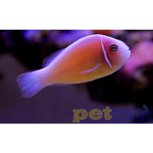 Sustainable Aquatics Pink Skunk Clownfish (Sus. Aq.) MD