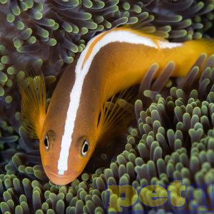 Sustainable Aquatics SA Orange Skunk Clownfish SM