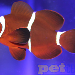 Sustainable Aquatics Maroon Clownfish Jumbo Bonded Pair