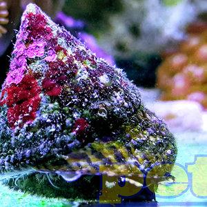 Tiger Trochus Snail