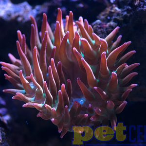 Rose Bubble Tip Anemone MD