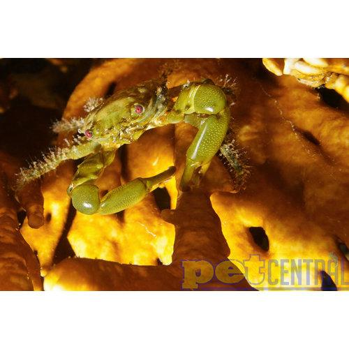 """Emerald Crab (.5-1.5"""")"""