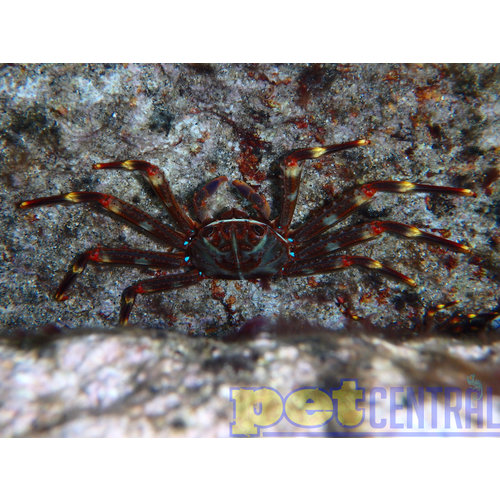 "Sally Lightfoot Crab (1-2.5"")"
