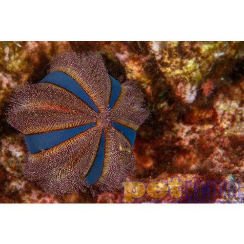 Tuxedo Urchin Colored -