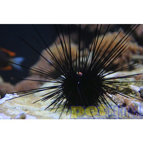 Longspine Urchin MD