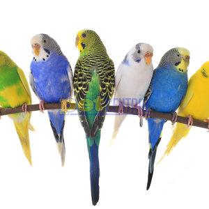 Assorted Parakeet