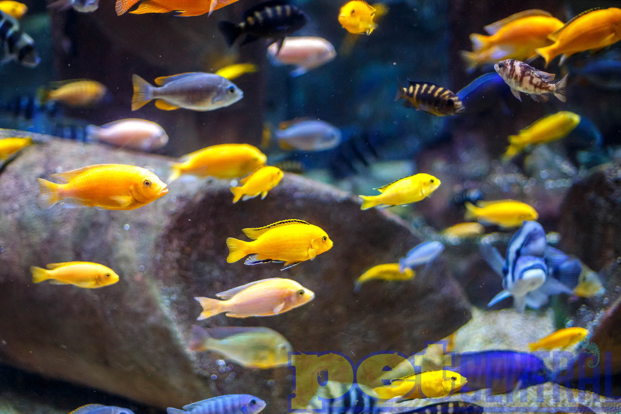 How To Tell If Your African Cichlids Are Breeding Tropical Fish Site