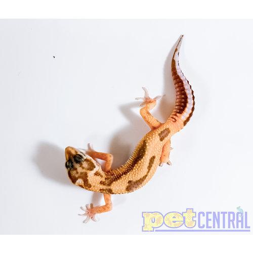 Aptor Leopard Gecko Juvenile Unsexed