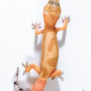 Hypomelanistic Jungle Designer Leopard Gecko