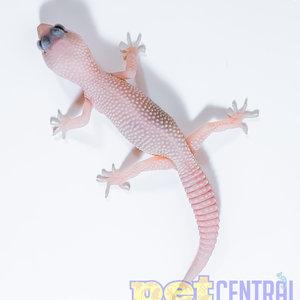 Diablo Blanco (Solid Red Eyes) Leopard Gecko