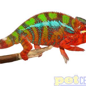 (WYSIWYG 10325) Blue Bar Ambilobe Panther Chameleon Male Adult