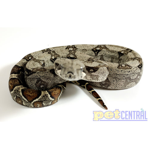 Colombian Red Tail Boa Baby