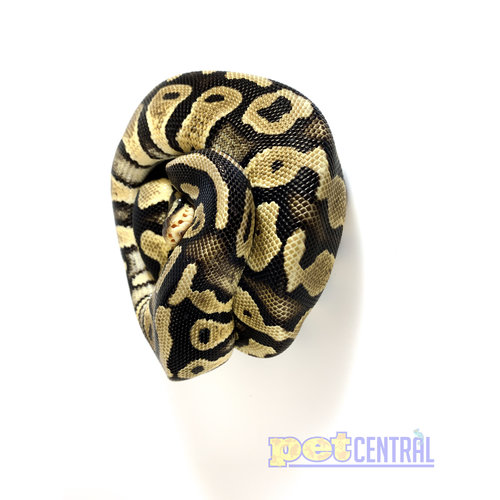 Pastel Ball Python Juvenile Female