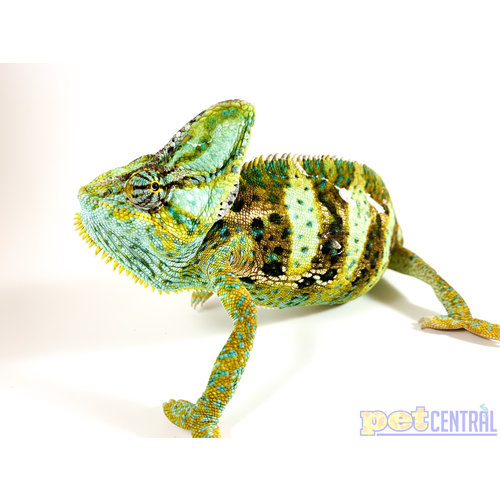 (WYSIWYG 5306) Veiled Chameleon Male Adult XL