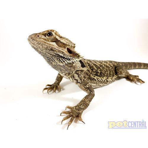 Bearded Dragon Sub-Adult