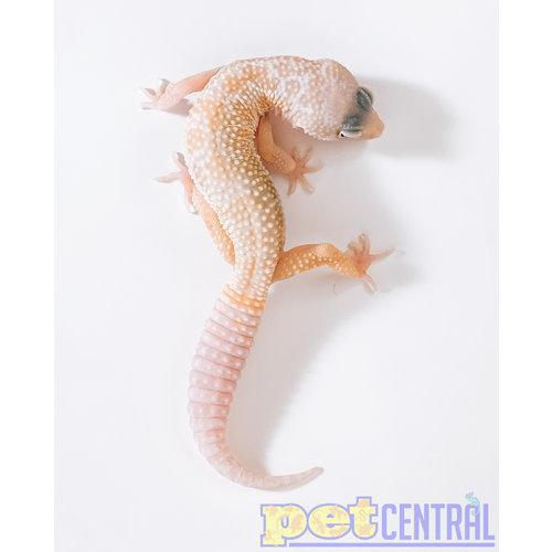 Albino Leucistic Leopard Gecko Juvenile