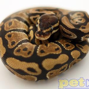 Ball Python Adult
