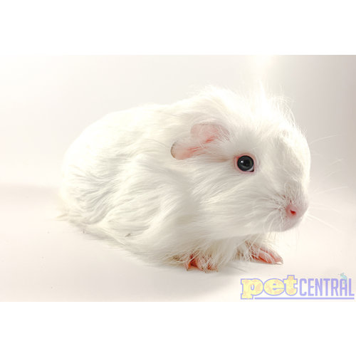 Abyssinian Silkie Guinea Pig Female Baby
