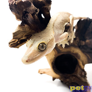 Flame Crested Gecko w/ Dal Spots ♀ Sub-Adult