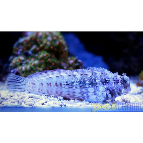 Lawnmower Blenny MD