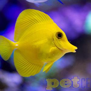 Yellow Tang MD