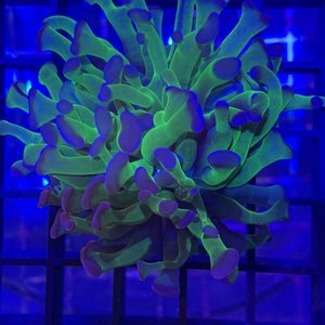 Purple Tip Branching Hammer Frag 1HD