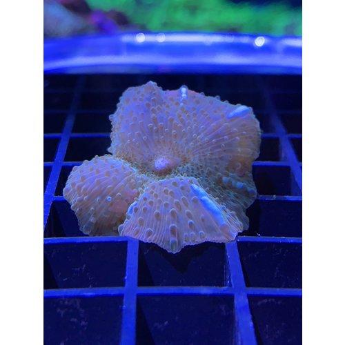 Green Shiny Mushroom Frag 1HD