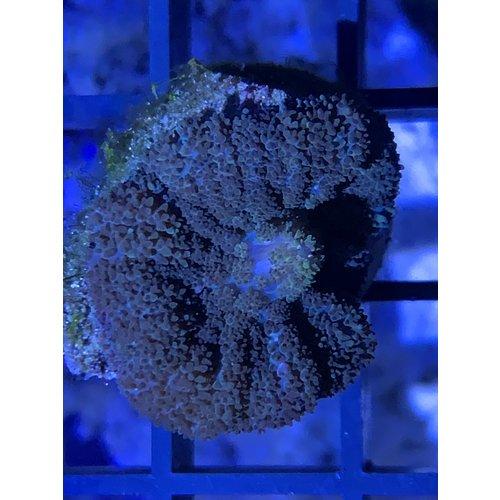 Brown Mushroom Frag (1HD)