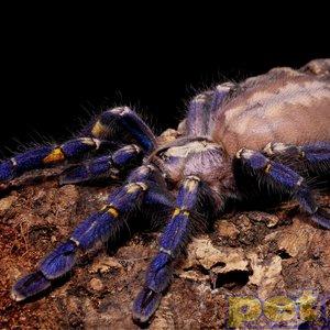 Gooty Sapphire (P. Metallica) Tarantula Spiderling 3cm