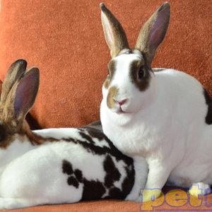 Mini Rex Rabbit Baby (8-14weeks)