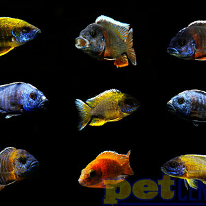 Assorted Peacock Cichlid Male ML