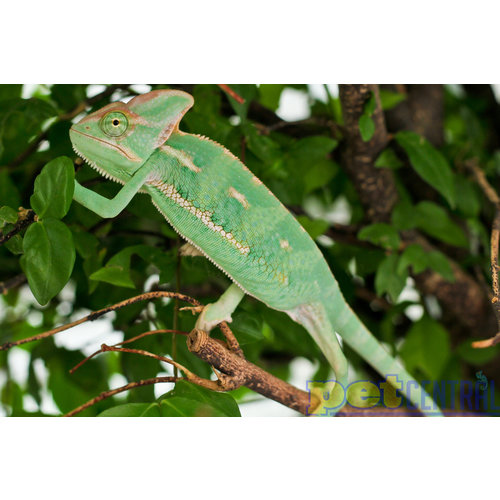 Veiled Chameleon Baby Unsexed