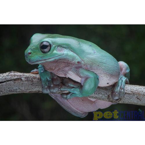 "Australian White's Tree Frog Baby (1-2"")"