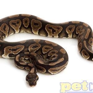 Cinnamon Ball Python Baby Male