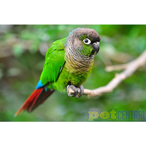 Green Cheek Conure (6-7 Months Old) - Locally Raised