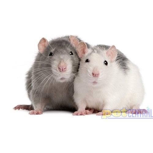 Adult (Weaned) Rat