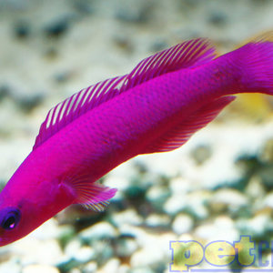 Tank Raised Orchid Dottyback MD