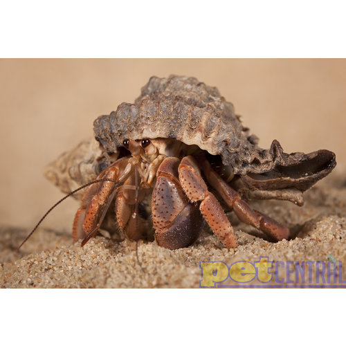 Native Shell Land Hermit Crab