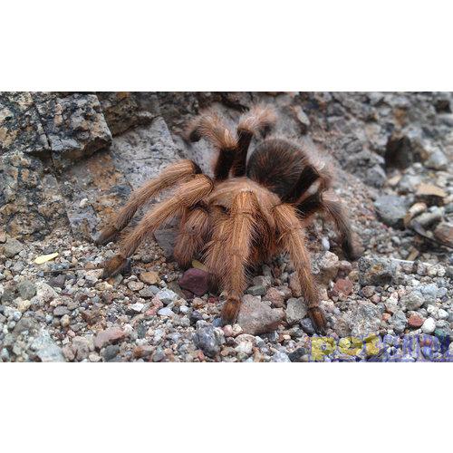 "Arizona Blonde Tarantula Spiderling (.25-1"")"