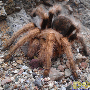 "Arizona Blonde Tarantula MD (1.5""-2.5"")"