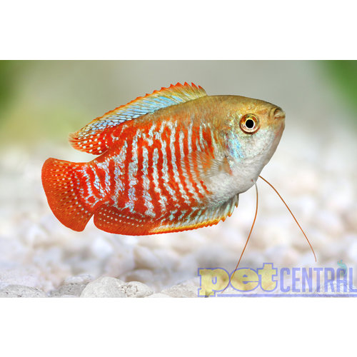 Fancy Dwarf Gourami Male RG