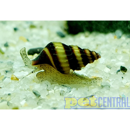 Assassin Snail RG