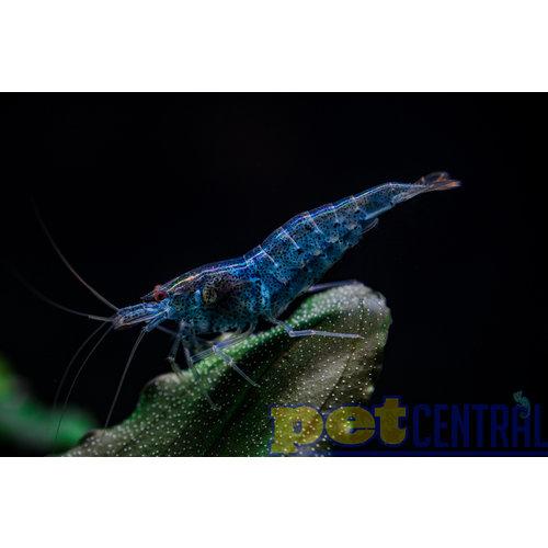 Assorted 'Neocaridina' Fancy Dwarf Shrimp