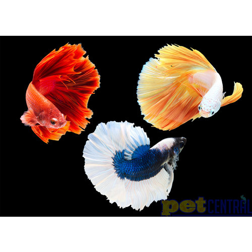 Assorted Betta Male LG