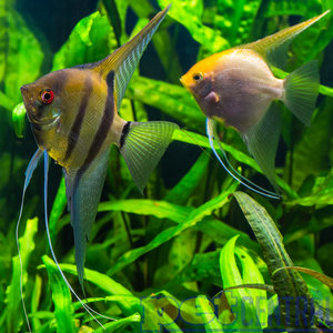 "Assorted Angelfish LG (5-6"")"