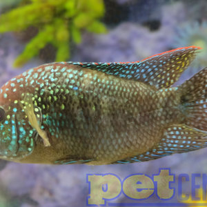 South American Cichlid Fish For Sale - Pet Central