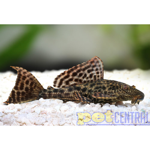 Common Pleco (Algae Eater)